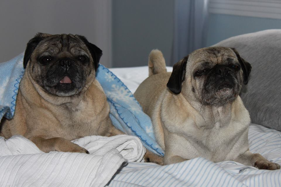 Foster A Pug Under My Wing Pug Rescue Adoption And Fostering In