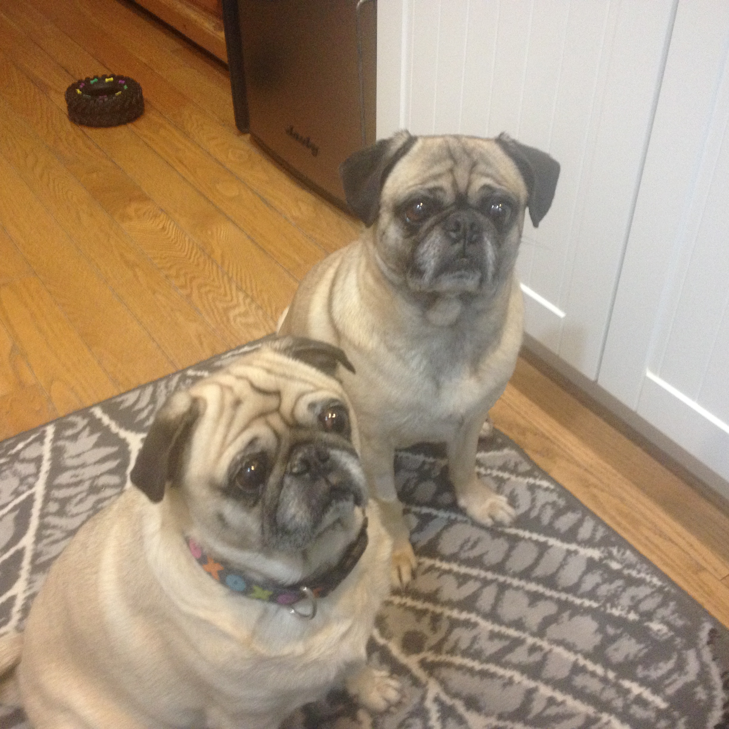 Pugs Under My Wing Pug Rescue